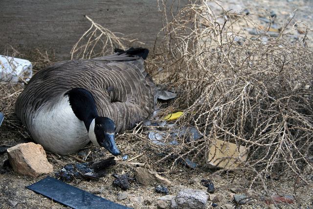 Urban Goose Nest, Minneapolis, MN