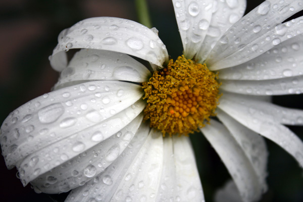 Flower with Rain Drops