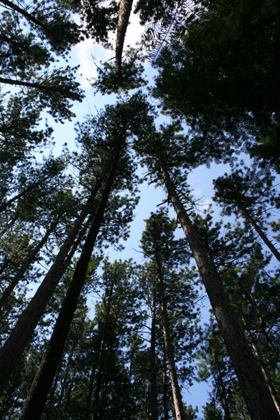 Tall Trees, Hiking along Vermilion Gorge near Crane Lake MN
