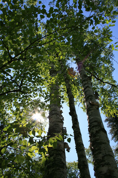 Birch Trees at Temperance River State Park, Minnesota