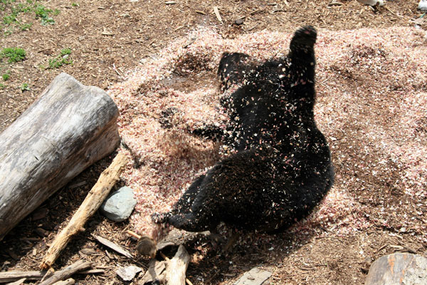 Black Bear Rolling in Wood Chips