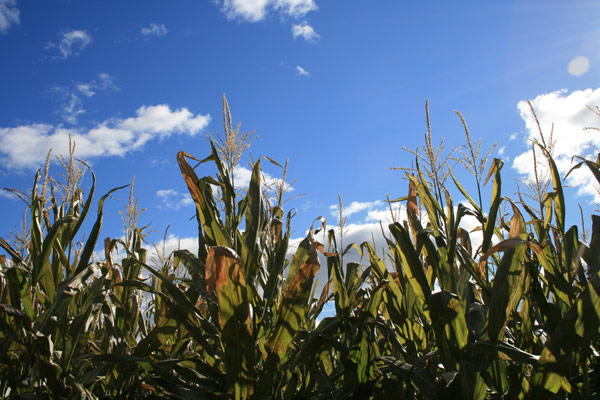 In the corn field on a sunny day