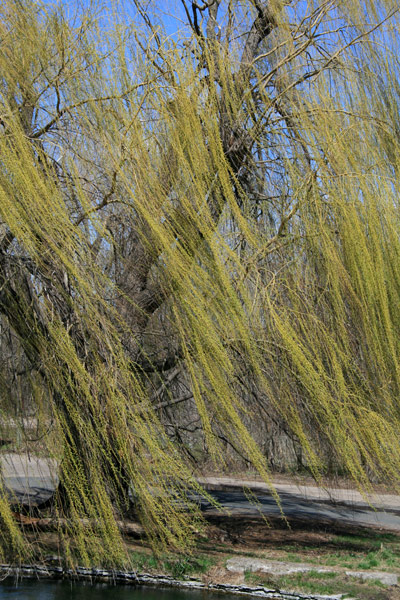 Spring Willow