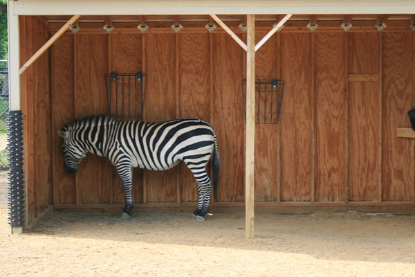 Zebra at the Como zoo on time out